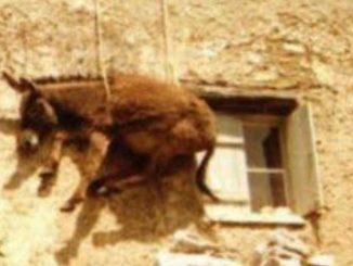 Νάξος: Ξέσπασε η εισαγγελέας για το βάναυσο έθιμο με τα γαϊδούρια σε ταράτσες!